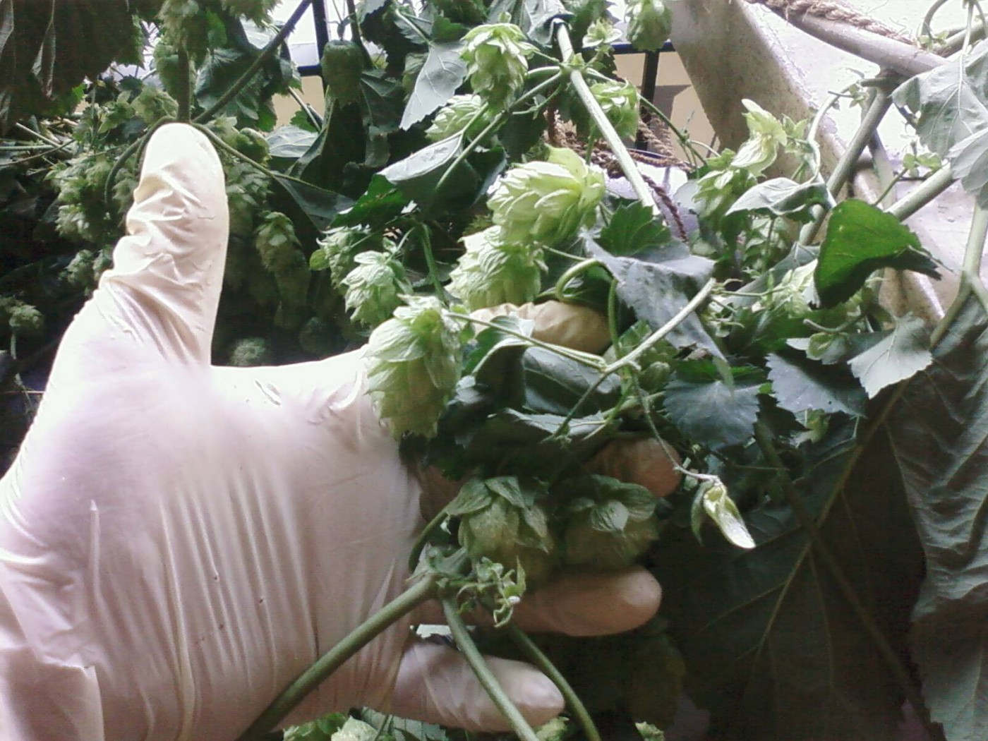 Picking Hops With Wynkoop Brewery