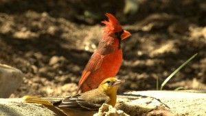 An actual Oriole and Cardinal. Not baseball players.