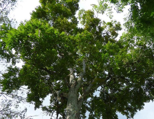 Spanish Cedar