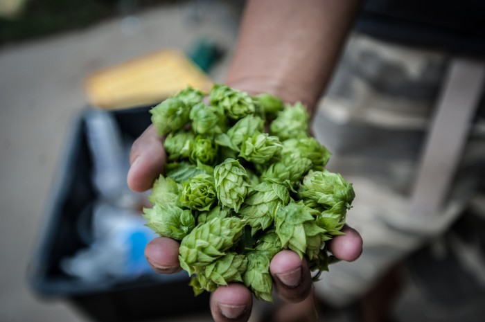 handful of fresh hops
