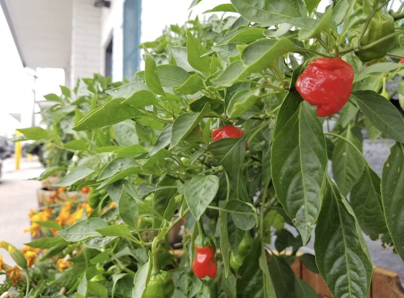 The actual scotch bonnets grown on Crooked Stave's patio.
